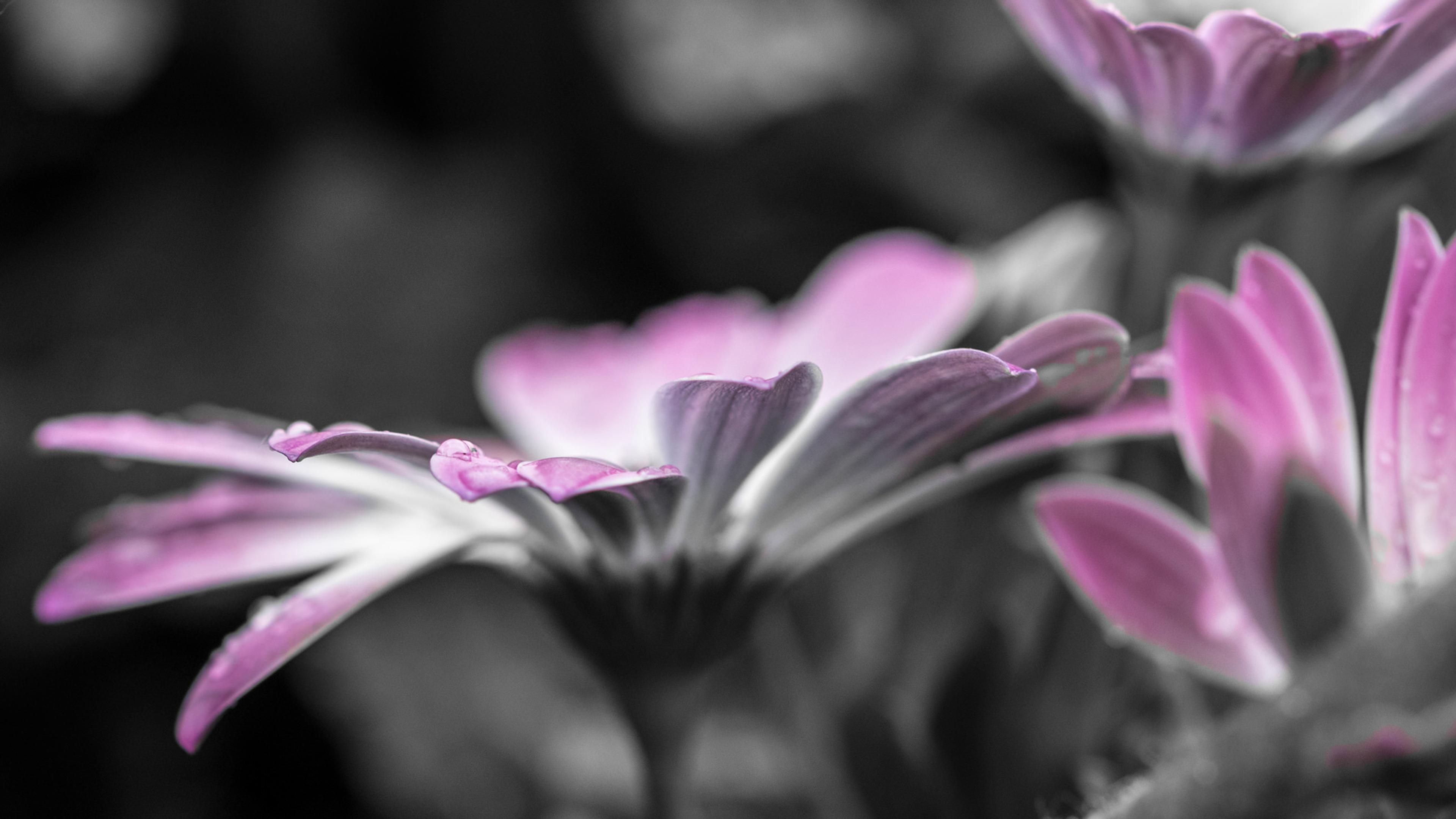 Нежные розовые гофрированные лепестки в утренних капельках росы