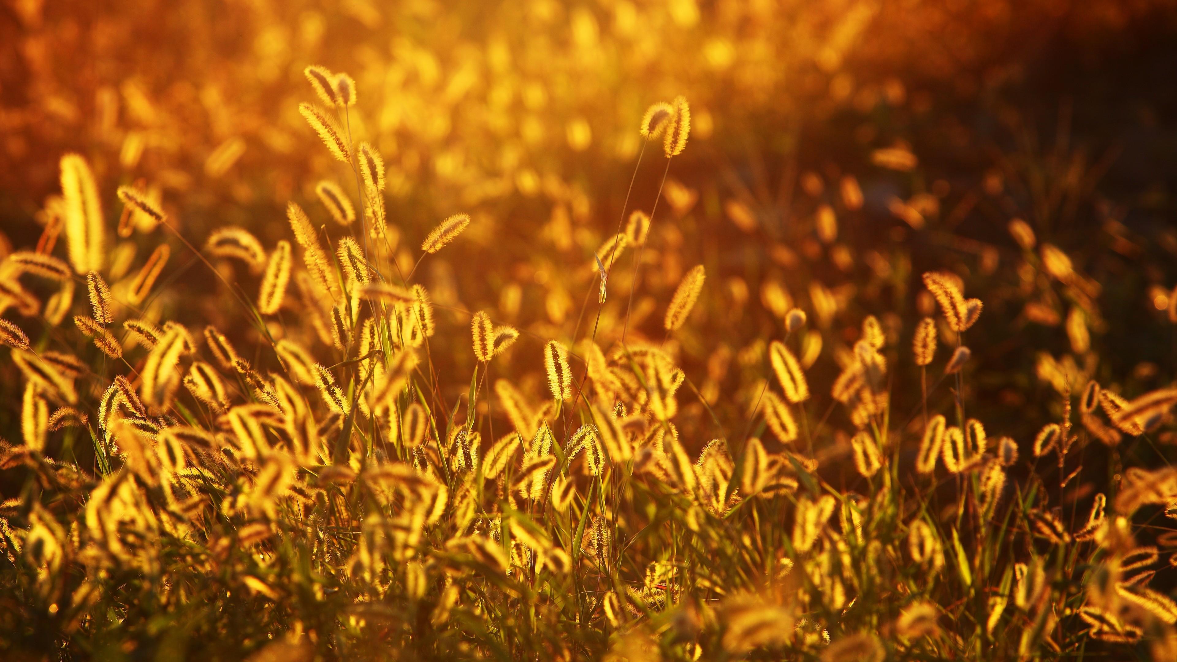 Золотые колоски травы в огненных лучах заката