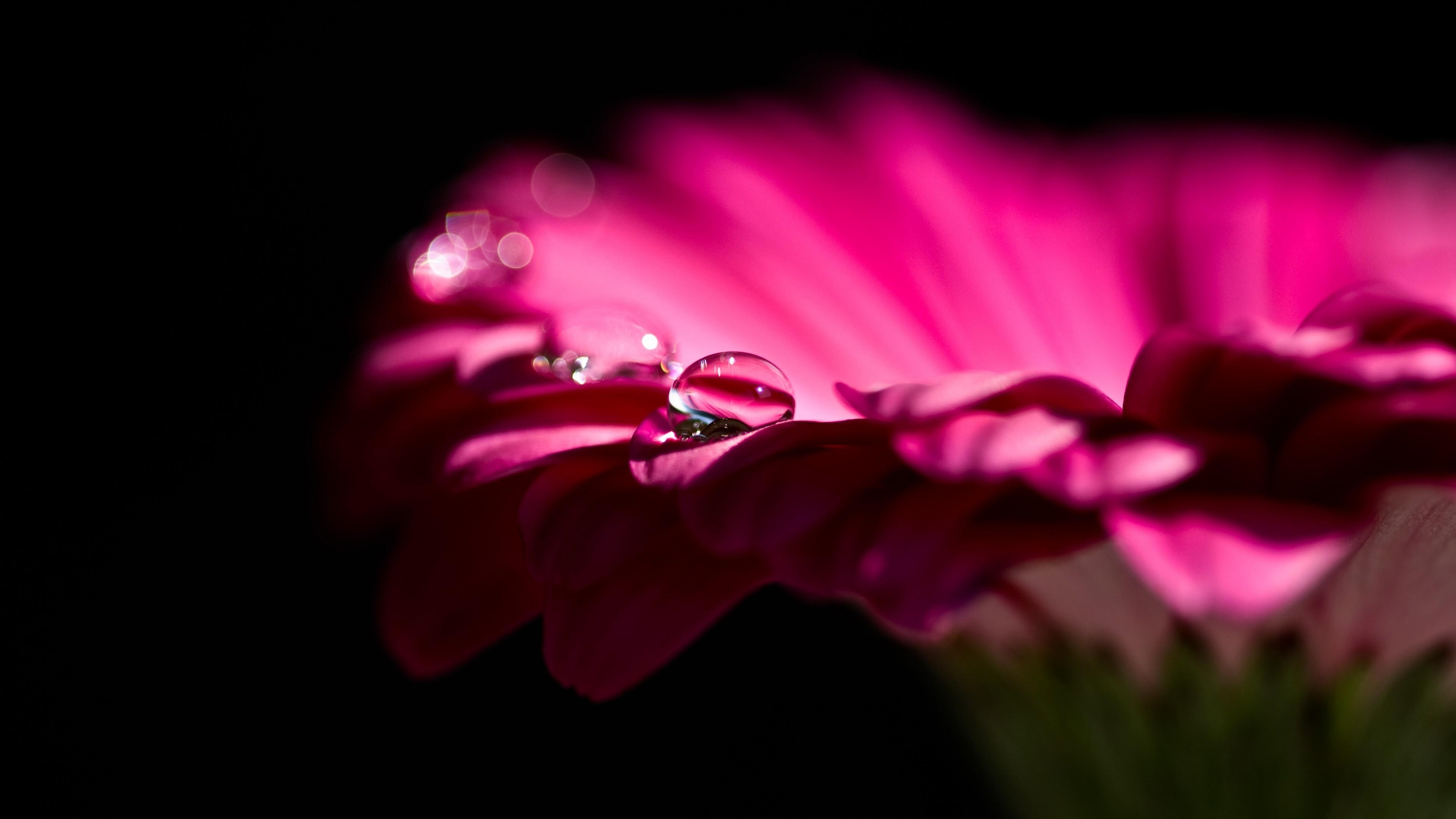 Малиновый цветок с рифлеными лепестками в сверкающих каплях ночной росы