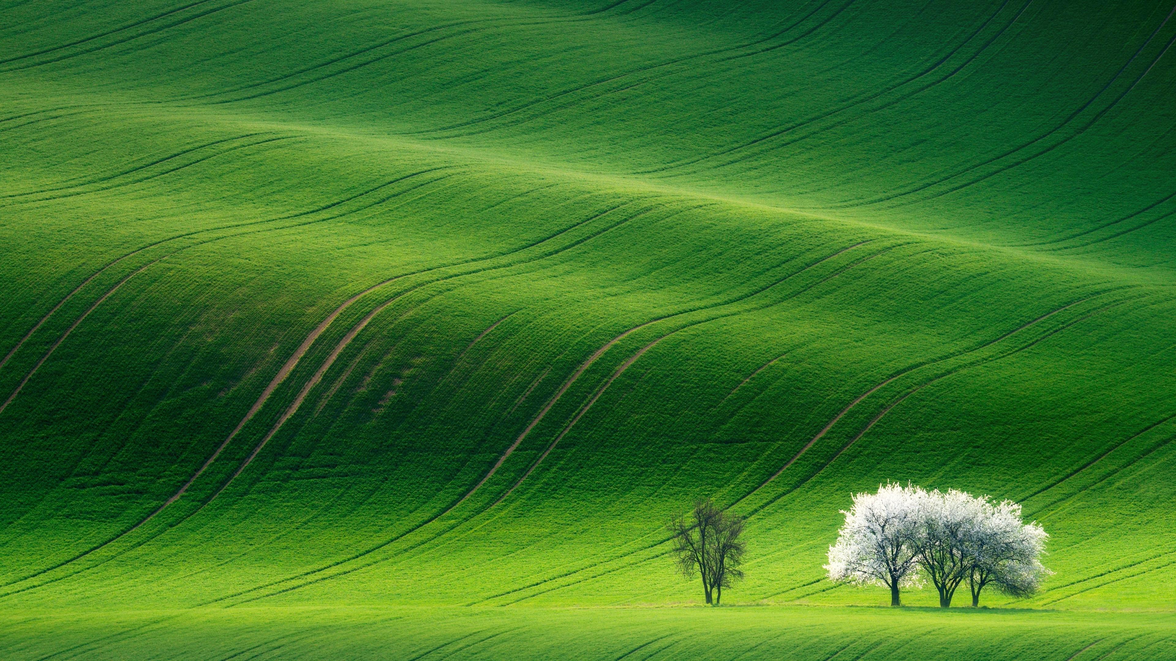 Волнообразный зеленый луг с белоснежно-цветущими деревьями